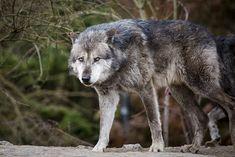 Wolf | Erlebnis Zoo Hannover 18.03.2017 | Dean Buchholz | Flickr