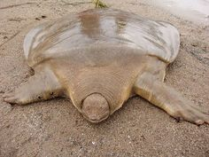 Cantor's Giant Soft Shelled Turtle