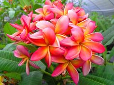 These are exotic plumeria flowers grown in Tampa!  Perfect for the wedding!