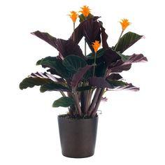 Picture of Calathea Crocata plant