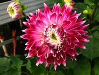 Another dinner-plate style Dahlia (Annual)...