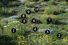 1 : Achillea nobilis  2 : Achillea millefolium  3 : Tanacetum densum subsp…