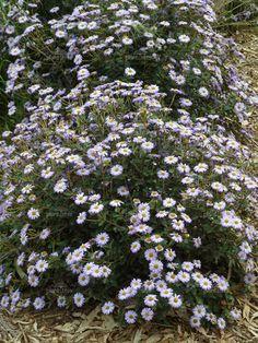 Olearia tomentosa, attempting to propagate. Daisy, Australian Native Garden, Bush, Native Gardens, Plant Information, Propagation, Native Plants, Garden Inspiration, Margarita Flower