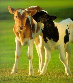 Vacas imagem 4