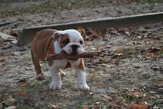 english bulldogs make the cutest puppies