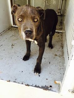 ***SUPER SUPER URGENT!!!*** - PLEASE SAVE KARDASHION!! - EU DATE: 3/31/2015 -- Kardashion Breed:Pit Bull Terrier Age: Under 6 months Gender: Female Size: Small Special needs: hasShots, Shelter Information: Delano Animal Shelter 1525 Mettler Avenue  Delano, CA Shelter dog ID: 03142015C-D01 Contacts: Phone: 661-721-3377 Name: Delano Animal Control email: SHELTER661@GMAIL.COM  Read more at http://www.dogsindanger.com/dog/1426356635206#brtQdTRFM7qKtWKe.99