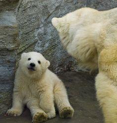 BABY AND MOM POLAR BEAR (IJsbeer)