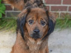 ***SUPER-URGENT 6/30/14 |HER WORLD HAS FALLEN APART! SHE NEEDS A LOVING HOME! JUST LOOK AT THAT FACE!!***Brooklyn Center  My name is BUBBLES. My Animal ID # is A1004034. I am a female brown and black collie smooth and labrador retr mix. The shelter thinks I am about 2 YEARS   I came in the shelter as a OWNER SUR on 06/21/2014 from NY 11228, owner surrender reason stated was ALLERGIES. I came in with Group/Litter #K14-182835.