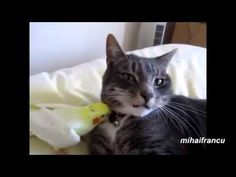Cats and parrots can live together but usually in these cases parrots are in their cages. In this video you can see parrots that walk around freely and tease peaceful cats. Their unexpected reactions to this annoying teasing are hilarious. Annoyed Cat, Funny Cats, Funny Animals, Funny Parrots, Funny Memes, Hilarious, Sphynx Cat, Cat Gif, Funny Photos