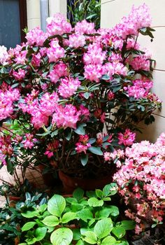 Rhododendro toopsvort pearl