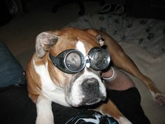 Cody in his silly goggles  saying goodbye to Steven  and giving him lots of boxer lovin