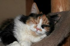 Charlotte is a 4 year old long hair calico who loves everyone she meets. She loves hanging out on the top level of the cat tree, will run to you when she hears the treat bag opening, and positively goes crazy for catnip. She is a laid back girl who loves to relax, but needs to play with interactive toys with her human like any cat.