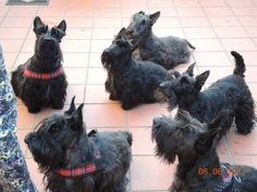 That's a whole lot of stubborn in one room. Scottish Terrier Puppy, Cairn Terrier, Terrier Dogs, Animals And Pets, Cute Animals, Dogs And Puppies, Doggies, Westies, Little Dogs
