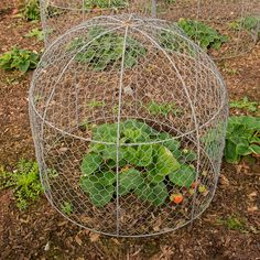 Potager Garden cage over vegetable plant - When planning your veggie garden, flower bed or planters, keep in mind one of the most serious dangers to new shoots and buds: hungry critters. Here's how to deter them in humane ways. Potager Garden, Garden Pests, Herb Garden, Garden Web, Fruit Garden, Garden Design, Cage Deco, Organic Gardening, Gardening Tips