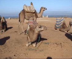 Σκέψεις: η καμήλα!