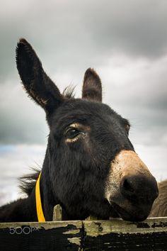 Heehaw - Making friends in a donkey sanctuary in Ireland