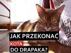 jak przekonać kota do korzystania z drapaka?