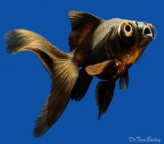 A Black Moor Goldfish swimming in one of our aquariums, when one of us snapped this picture. To see more click on ... http://www.AquariumFish.net/catalog_pages/goldfish_and_koi/telescope_table.htm#telescope