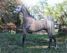 A Sterling Design f. 2007, Wild Sterling X Silver Lining's Singing in the Rain by The Silver Lining. This handsome silver stallion gets his gray from both sides. (The American Saddlebred:  Glorious Grays Part 3, Stallions)