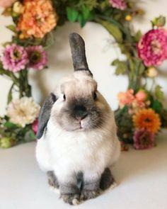 Mini Lop Bunnies, Cute Baby Bunnies, Hamsters, Baby Animals, Cute Animals, Wonder Pets, Bunny Care, Fluffy Bunny, House Rabbit