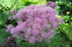 Lehtoängelmä | Thalictrum aquilegiifolium | Columbine meadow-rue/French meadow-rue/greater meadow-rue