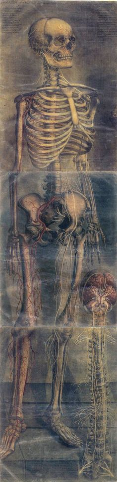 ANATOMICAL STUDY.............BY JACQUES FABIAN GAUTIER D'AGOTY.............PARTAGE OF DANIEL LINZE...............