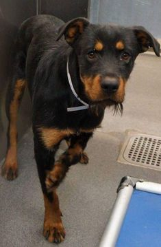 Rottweiler Mix, What Dogs, Stay Happy, Rottweilers, How Big Is Baby, Cute Puppies, Doggies, Dog Cat, Corgi