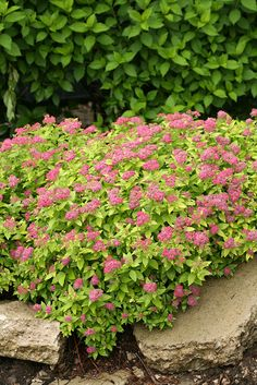 Plants for below the window - Spirea