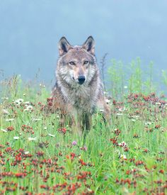 "beautiful-wildlife: ""Wolf in Wildflowers by Steve Russell """