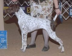LOST - FEMALE GERMAN SHORTHAIRED POINTER (Spring Branch) Betsy has been missing since 9-15-2012. She is white with liver ticking and a liver butt patch, 16 months old and about 40 lbs. She is chipped but has no collar or tags. If you see her please contact her distraught owner at 713-502-3491.