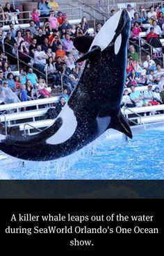 Killer Whale at Sea World Orlando