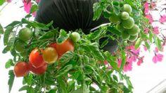 O tomate é rico em vitamina C e licopeno, dois importantes antioxidantes.Da vitamina C muito já se falou e quase todos sabem da sua importância para aumentar a imunidade e prevenir gripe e infecções.E o licopeno?