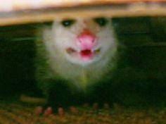 DIY Possum Control Trap, Controlling Backyard Possums