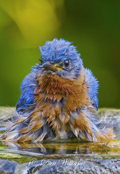 Dan Williams Bird Photography: Bluebirds in Spring
