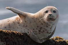 Right this way Sir. Harbor Seal at Asilomar State Beach near Pacific Grove, California by Tom Post Cute Animals With Funny Captions, Funny Animal Memes, Funny Animals, Coastal Christmas Stockings, Cute Seals, Harbor Seal, Cute Friends, Ocean Life, Zoo Animals