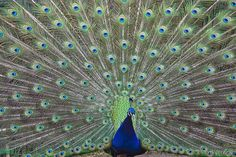 The Indian peacock has iridescent blue and green plumage. The peacock tail, known as a train, consists not of tail quill feathers, but highly elongated upper tail coverts. These feathers are marked with eyespots, best seen when a peacock fans his tail. Both sexes of all species have a crest atop the head. The Indian peahen has a mixture of dull grey, brown, and green in her plumage. The female also displays her plumage to ward off female competition or signal danger to her young.