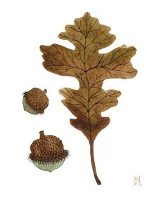 34 Trendy bur oak tree u. Plant Illustration, Botanical Illustration, Botanical Drawings, Botanical Prints, Mighty Oaks, Oak Leaves, Illustrations, Oak Tree, Tree Art