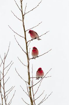 Rubies of the Tetons Perched in a young aspen, three male Cassin's finches wait out a late spring snowstorm, their vivid red plumage shines like bright jewels against the snow-washed sky. pinned with Bazaart Pretty Birds, Love Birds, Beautiful Birds, Three Birds, Tier Fotos, Winter Beauty, Winter Wonder, Jolie Photo, Little Birds