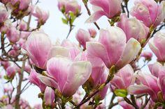tulip-magnolia-324235_1280.jpg (1280×853)