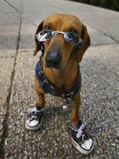 Coffe-This Is The Coolest Living Dachshund  via BuzzFeed