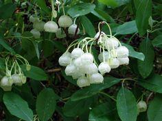 I love Honey Bells! Image detail for -Meadowbrook Nursery: Honeybells