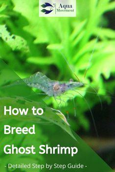 Ghost Shrimp Breeding - How to do? Saltwater Aquarium, Freshwater Aquarium, Ghost Shrimp, Aquatic Turtles, Shrimp Tank, Aquarium Ideas, Seahorses, Aquascaping, Step Guide