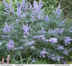 Violet blue Russian Sage Low Sun flower spikes July to Sept. Phlomis fruticosa 6 4' X 3' Silver-gray leaves. Yellow flowers Jerusalem Sage Low Sun attract ...