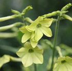 Nicotiana 'Lime Green' - tobacco plant. Fragrant and indispensable in the border, so grown most years.