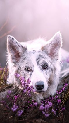 This is an awesome picture of a Border Collie! - This is an awesome picture of a Border Collie! Pretty Animals, Cute Animals, Beautiful Dogs, Animals Beautiful, Gorgeous Gorgeous, Dogs Tumblr, Animals And Pets, Baby Animals, Dog Background