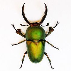 Green Stag Beetle Lamprima Adolphinae Real by ButterfliesArtist, $27.99
