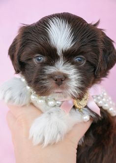 Shih Tzu  www.TeaCupsPuppies.com