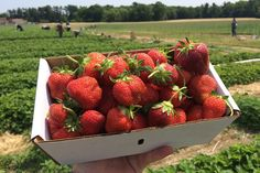 Ward's Strawberries