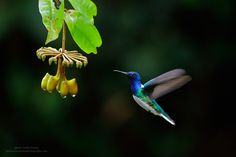 【とり、鳥、Bird】 White-necked-Jacobin-and-flower - Juan Carlos Vindas