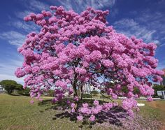Series with Ipe-Roxo Bola (Tabebuia impetiginosa) - Series with the Pau D'Arco Bark - - Beautiful Photos Of Nature, Beautiful Landscapes, Pink Blossom Tree, Picture Tree, Colorful Trees, Tree Forest, Flowering Trees, Science And Nature, Dream Garden